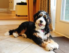 A dream to look forward to !!! Perfect markings #Bernedoodle