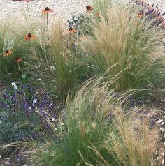 Prairie style planting with Echinacea 'Tiki Torch', Stipa tenuissima and English Lavender Stipa, Tiki Torches, Planting, Garden Design, Lavender, English, Flowers, Plants, English Language