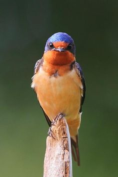 Barn Swallow Hirundo rustica is the most widespread species of swallow in the world It is a distinctive passerine bird with blue upperparts a long deeply forked tail and. Small Birds, Little Birds, Colorful Birds, Exotic Birds, Pretty Birds, Love Birds, Beautiful Birds, Barn Swallow, Swallow Bird