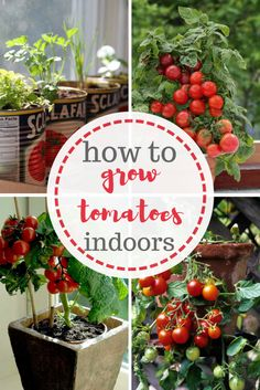 Who would have ever thought that growing tomatoes indoors was possible?  Gardening, Container Gardening, Tomato Gardening, indoor Gardening, Indoor Gardening Tips and Tricks, Gardening Tips, How to Grow Tomatoes Indoors