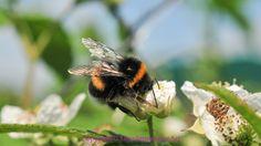 Bijen ......Bestuiven - Dion Impression Art