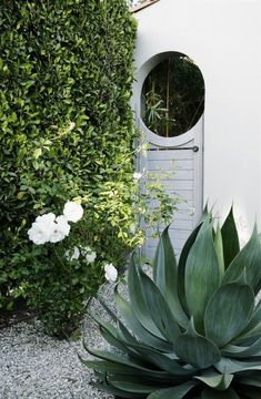 LA Confidential: A Private Courtyard Garden Goes Luxe on a Budget - Gardenista - agave, iceberg rose and ficus hedge; naomi sanders l Gardenista - Patio Garden, Xeriscape, Garden Gates, Ficus Hedge, Outdoor, Courtyard Garden, Outdoor Gardens, Dream Garden, Garden Features