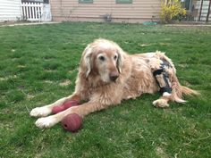 Max has an OrthoPets Stifle Brace for his ACL/CCL tear which has enabled him to get back to chasing his ball!