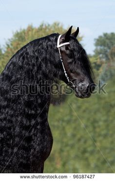 Friesian stallion Stock Photos, Images, & Pictures | Shutterstock