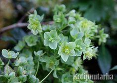 Jouluruusu (Helloborus lividus), Bergianska Trädgård, Tukholma. Plants, Plant, Planets