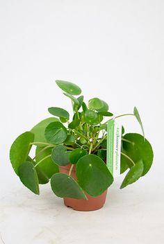 Pannenkoekenplant Pilea peperomioides