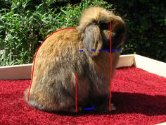 POSING A HOLLAND LOP FOR SHOW