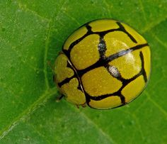 Yellow Ladybug Beetle This beetle looks like a soccer ball....