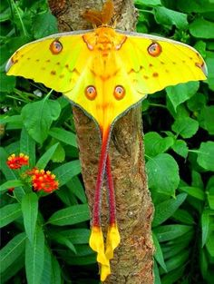 We never imagined a moth could be this beautiful. The Madagascar Moon Moth, the biggest moth in the world. Madagascar is home to the largest endangered species of moth in the world. The Giant Comet or Moon Moth is truly the biggest silkworm in the world. Beautiful Bugs, Beautiful Butterflies, Amazing Nature, Dead Gorgeous, Beautiful Friend, Madagascar, Beautiful Creatures, Animals Beautiful, Moon Moth
