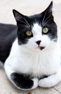 White and black cat, Bicolor Cat, Gatis, Gatuchi, hermoso, Gato blanco y negro, Tuxedo Cat
