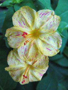 four-o'clock flower