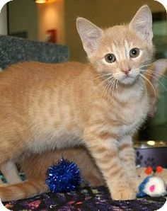 Irving, TX - Domestic Shorthair. Meet Chasity, a kitten for adoption. http://www.adoptapet.com/pet/16273349-irving-texas-kitten
