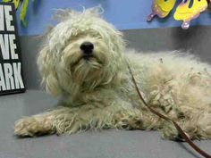 ★★ AT RISK FOR EUTHANASIA ★★ PER SHELTER, NEEDS AN ADOPTER OR RESCUE COMMITMENT BY EOB SAT JULY 26TH #A437800 (Moreno Valley, CA)  male, white Poodle - Miniature mix.  The shelter thinks I am about 2 years.  I have been at the shelter since Jul 16, 2014 and I may be available for adoption on Jul 23 https://www.facebook.com/135559229932205/photos/a.136024659885662.29277.135559229932205/335420296612763/?type=3&theater