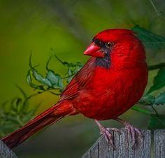 Cardinal Bright