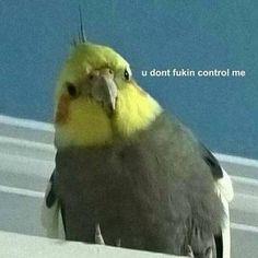The Signs as birb memes – Cockatiel Funny Birds, Cute Birds, Stupid Funny Memes, Funny Relatable Memes, Animal Jokes, Funny Animals, Response Memes, Current Mood Meme, Mood Pics