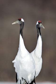 Two Headed Japanese Red Crane, Hokkaido, Japan