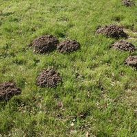 Moles living in your lawn can lead to dead plants, mounds of piled soil and damage to the grass. These small creatures are not rodents but are as pesky as them. They feed on grubs, worms and other lawn insects. Maintaining a pest-free lawn will discourage moles from returning, but contrary to popular belief, it will not rid the yard of them. A...