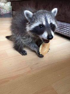 Little raccoon enjoying his snack
