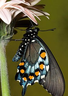 Pipevine Swallowtail Butterfly by Millard H. Sharp