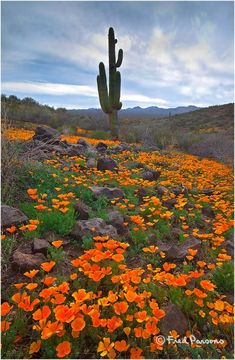 ✯ Peridot Mesa, San Carlos Apache Reservation - AZ   ... love California poppies, no matter where they are ...