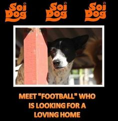 """""""Football"""" is the sweetest little girl who amazingly has now been with us for 4 long years!  She came to us when she was only 2 months old, having been found dumped in a storm drain with her siblings in the resort of Patong. https://www.facebook.com/SoiDogPageInEnglish/photos/a.137025779672499.11141.108625789179165/651073521601053/?type=1&theater"""