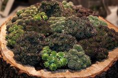 Sempervivum, a type of succulent that tolerates below zero temperatures, is planted densely in a repurposed tree stump. Types Of Succulents, Growing Succulents, Succulents Garden, Succulent Landscaping, Cactus Y Suculentas, Health Advice, Herb Garden, Turmeric, Perennials