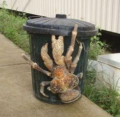 Unhypsignathe monstrueux Giant Animals, Large Animals, Cute Animals, Coconut Crab, Golden Retriever, Weird Creatures, Sea Creatures, Animals Beautiful, Unusual Animals