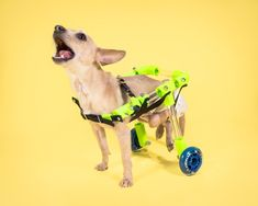 Need to build a wheelchair for your mobility-impaired pooch? We'll show you several DIY dog wheelchair plans to build the best wheels for your pup! Diy Dog Wheelchair, Diy Cat Shelves, Disabled Dog, Diy Cat Tree, Dog Stroller, Animal Projects, Fat Cats, Homemade Dog, Diy Stuffed Animals