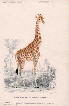 Serie de safari jirafa mamífero africano de impresión