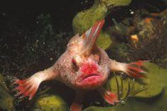 Rare, Mohawk-Wearing Fish Discovered 'Walking' on Seafloor