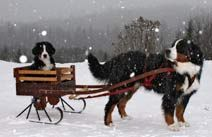 Berner sled dog, this is the type of dog I want once I own my dream house.