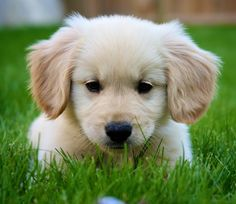 Comfort Retriever (mini golden retriever). If I were ever going to pay a breeder rather than adopt (not likely though)- this would be the one!