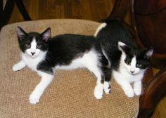 lizardmarsh: NYC: Jack & Jill, two Tuxedo kittens need homes. M...