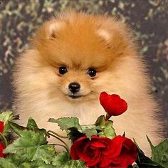 Happy Cute Little Pomeranian Dog - Aww!