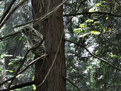 On this day,  I was lucky enough to see a barred owl in Pacific Spirit Regional Park. A reminder that I am a guest in his neighbourhood.