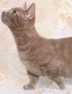 Munchkin Cat Gato Munchkin, Cat 2, I Love Cats, Cats And Kittens, Animals, Breeds Of Cats, Colors, Animales, Animaux