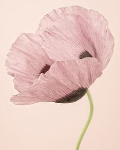 Opium Poppy I by Paul Coghlin. Pink. Flower. Stem. Petals. Photography. Nature. Botanical.