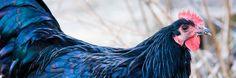 Gallo nero della Val di Vara - Presìdio Slow Food - La Spezia