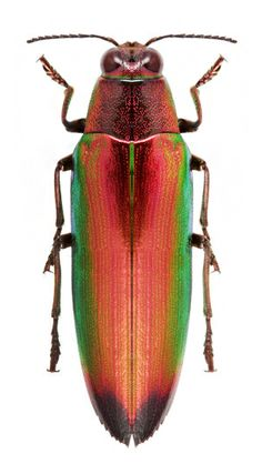 Chrysochroa variabilis rubrocuprea