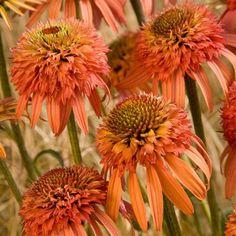 Echinacea (Coneflower) 'Irresistible (PBR)'