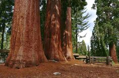 California Tourist Attractions & Must See Places In California. On the West Coast of the United States, California offers plenty of travel ideas. California Tourist Attractions, Places In California, Northern California, Sequoia National Park California, Sequoiadendron Giganteum, Old Trees, Photos Of The Week, National Forest, Great Pictures
