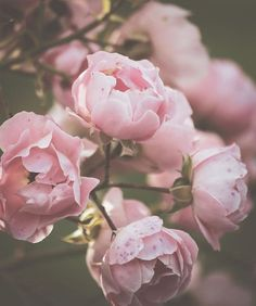 Dusty Pink Roses Art Print by Sirpa K / #flowers #art #artprint #wallart #roses #ad Aesthetic Roses, Baby Pink Aesthetic, Aesthetic Colors, Aesthetic Vintage, Aesthetic Art, Wallpaper Flower, Pink Wallpaper, Rose Tattoo Traditional, Flowers Background