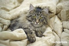 Chandler (Domestic Longhair) - Chandler's comfortably content purrfectly snuggled in.  (pic by Rachael Hale)