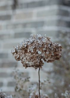 valscrapbook: Hydrangeas in the fall by Laura L. Wentz on Flickr.