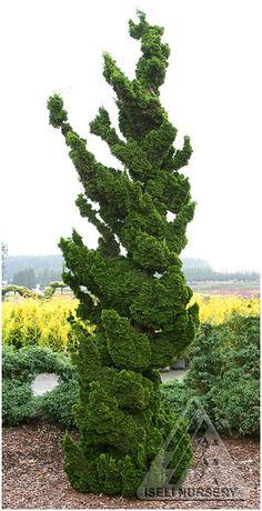 Hinoki Spiraling Cypress
