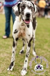 Lillie is an adoptable Great Dane Dog in Huntersville, NC. Lillie is a 2 yr old Dane that was surrendered to rescue by her family because they didn't have time for her. In her foster home she has been...