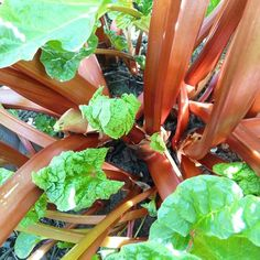 "Growing Rhubarb Plus Healthy Rhubarb Recipes When you hear ""rhubarb"", what comes to mind? For most people, it's likely rhubarb pie, right? Rhubarb Health Benefits, Rhubarb Juice, Growing Rhubarb, Rhubarb Plants, Best Edibles, Fall Vegetables, Potager Garden, Rhubarb Recipes, Home Garden Plants"