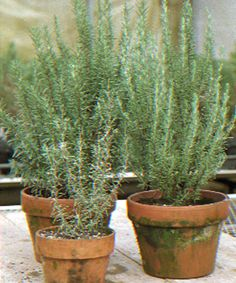 A good guide to maintaining rosemary! With recommendations for culinary, topiary, and aromatic needs!