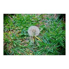 Nothing more special than a dandelion