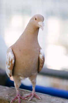 Mackenzie of  Palomacy Pigeon & Dove Adoptions
